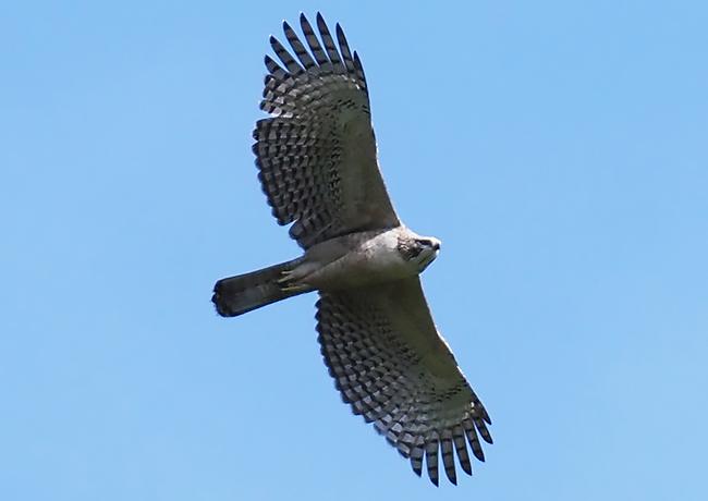 社有林上空を飛翔するクマタカの幼鳥(上記北海道クマタカ研究会撮影)