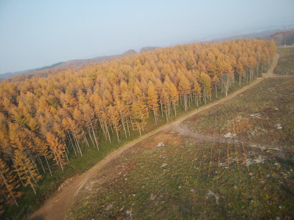 黄金色に色づく晩秋のカラマツ林(早来山林)