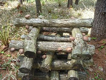 細い枝木は、シイタケ栽培の「ほだ木」として活用