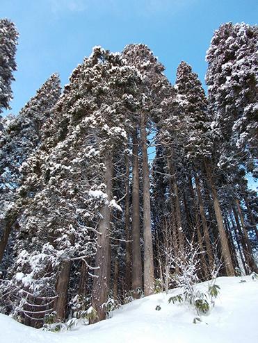 冬のスギ林(森山林)