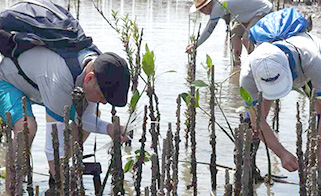 Planting mangrove seedlings