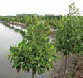 Regeneration of mangrove