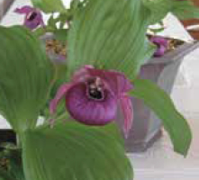 A cypripedium in bloom