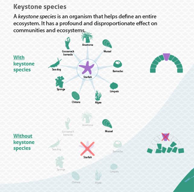 Keystone Species (From SeaBOS materials)