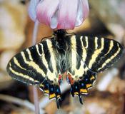 Luehdorfia butterfly