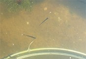 写真:繁殖に成功したイチモンジタナゴの稚魚