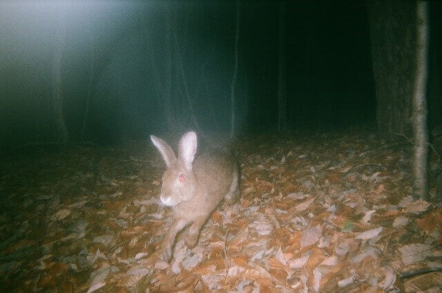 A hare in the Nagano Tokyo Gas Forest
