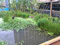 Killifish pond created as part of the roof garden-2