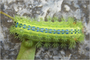 Nettle caterpillar