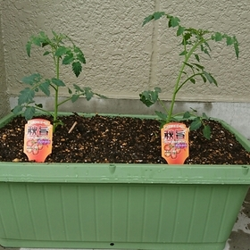 みんなで育てるミニトマト
