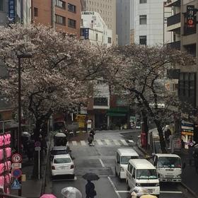 渋谷は桜が咲いてました