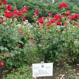 庄内緑地公園バラ園