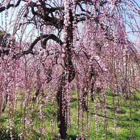 名古屋市農業センター枝垂れ桜