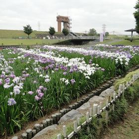 庄内緑地公園ハナショウブ