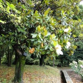 庄内緑地公園タイサンボク(モクレン科)