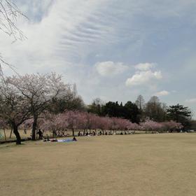 森林公園 桜