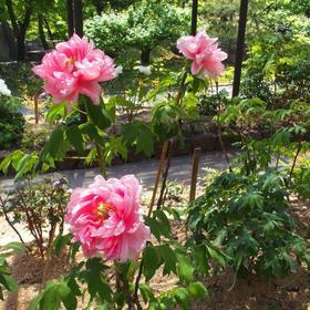 徳川園牡丹