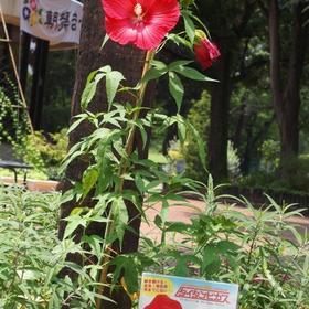 名城公園フラワープラザのタイタンビカス