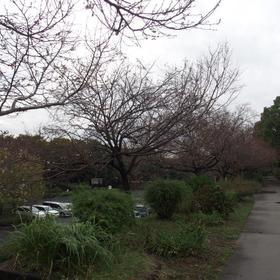庄内緑地公園寒咲桜