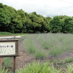 荒子川公園ラベンダー