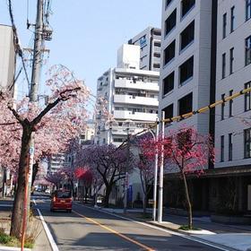 東区さくらみち寒緋桜