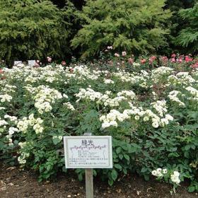 庄内緑地公園 バラ
