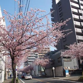 東区さくらみち大寒桜