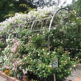 名城公園フラワープラザのバラ