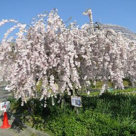 東谷山フルーツパーク枝垂れ桜