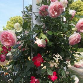 鶴舞公園バラ