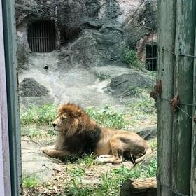 勇ましいライオン。