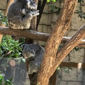 スヤスヤ…お休みタイムのコアラ。