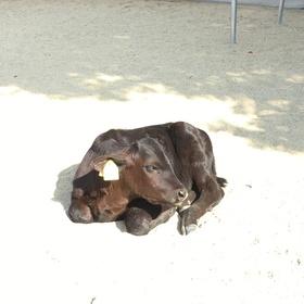 10月に産まれたばかりの子牛