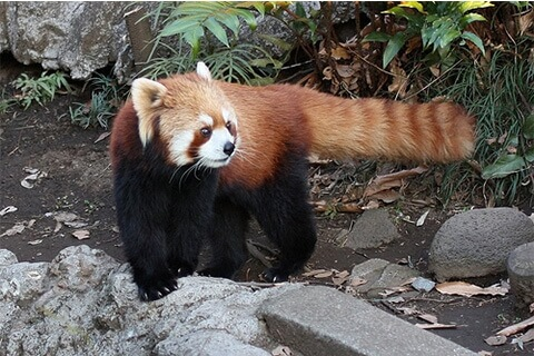 resser_panda