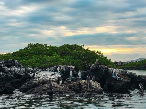 イサベラ島のアオアシカツオドリ