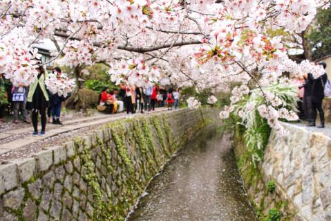 哲学の道_桜