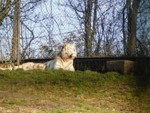 アフリカンサファリ トラ