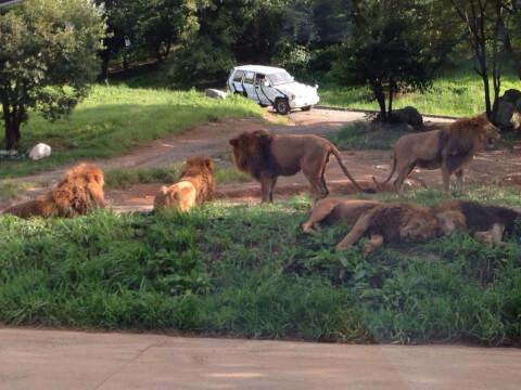 akiyoshidou_safari_lion