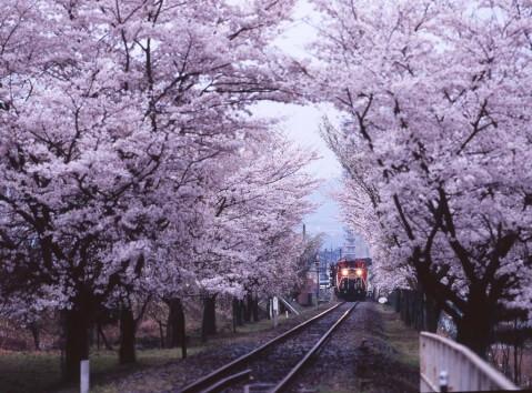 嵐山トロッコ春