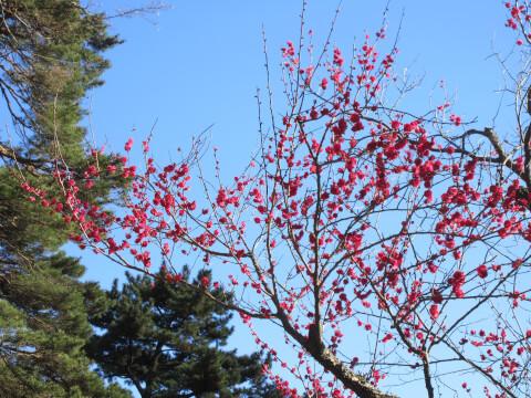 熱海梅園の梅の木