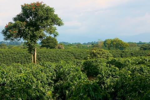 キンディオのコーヒー農園