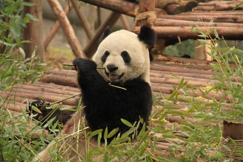 成都 パンダ繁殖研究基地 パンダ panda