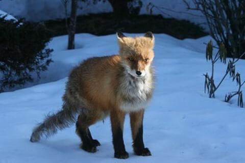 wonter_fox