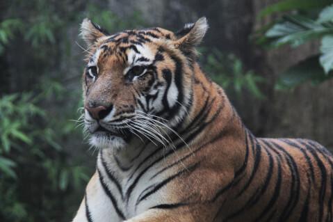 スマトラトラ インドネシア トラ