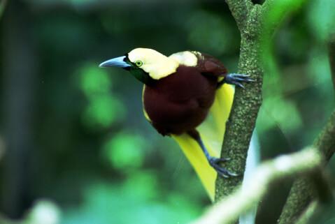 パプア ニューギニア インドネシア 極楽鳥