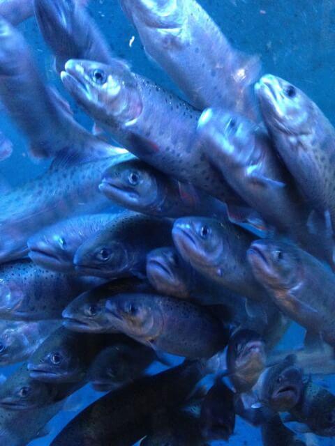 hatahatfish
