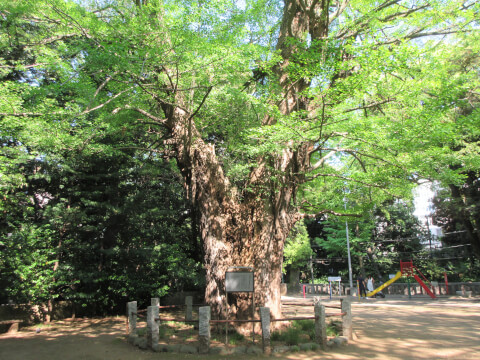 イチョウの木 氷川神社