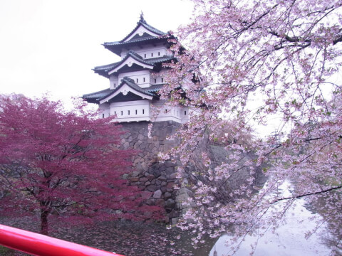 hirosaki-sakura