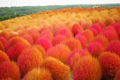 日本 絶景 茨城 ひたち海浜公園 コキア 紅葉