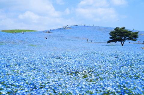 日本 絶景 茨城 ひたち海浜公園 ネモフィラ